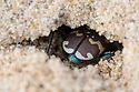 Northern Dune Tiger Beetle (Cicindela hybrida) digging overnight burrow in dune system at Ainsdale Nature Reserve, Merseyside, UK. April. Photographer: Alex Hyde
