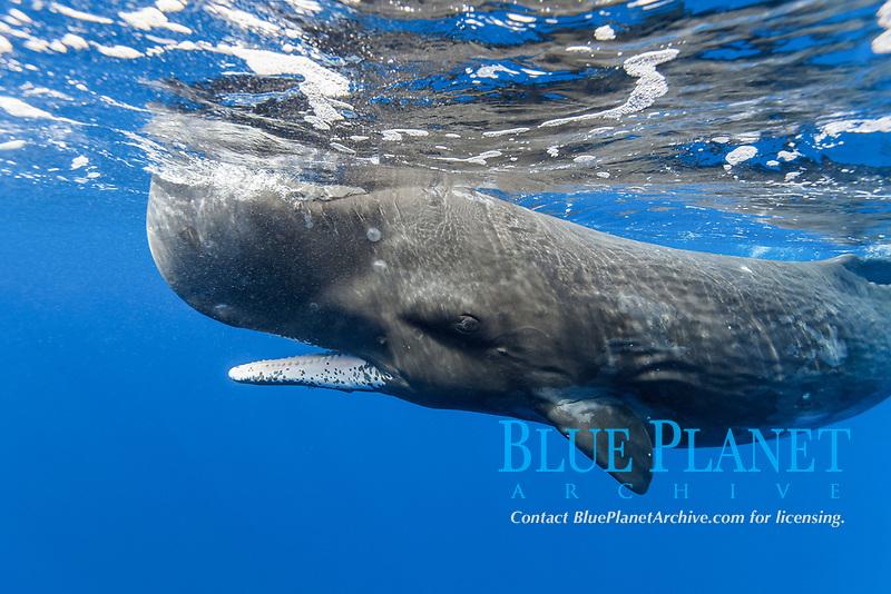 sperm whale, Physeter macrocephalus, Chichi-jima, Bonin Islands, Ogasawara Islands, Natural World Heritage Site, Tokyo, Japan, Pacific Ocean
