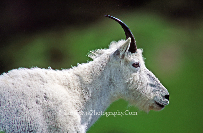 Mountain Goat Portrait  #G8