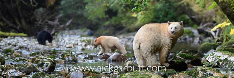 Adult spirit bears or Kermode bears (Ursus americanus kermodei)(pale/white morph of an North American black bear). Along Gwaa stream, Gribbell Island, Great Bear Rainforest, British Columbia, Canada. September 2018.