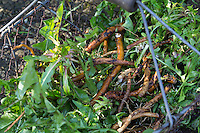 Löwenzahn-Wurzel, Löwenzahn-Wurzeln, Löwenzahnwurzel, Löwenzahnwurzeln, Wiesen-Löwenzahn, Radix Taraxaci, Taraxaci radix, Gemeiner Löwenzahn, Wurzel, Wurzeln, Wurzelstock, Pfahlwurzel, Kuhblume, Taraxacum officinale, Taraxacum sect. Ruderalia, Dandelion, root, roots, root stock, Dent de lion