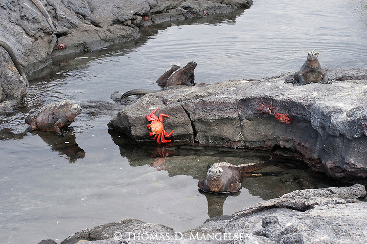 Marine iguanas and sally lightfoot crabs on a rocky beach in the Galapagos Islands, Galapagos Islands.
