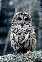 OW01-011a  Barred Owl - Strix varia
