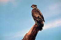 Immature Young Bald Eagle (Haliaeetus leucocephalus) perched on Tree Stump