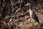 Damon, Texas; a yellow-crowned night heron standing at the edge of the slough in late afternoon sunlight