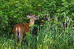 White-tailed doe foraging