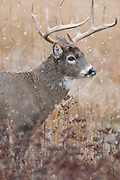 White-tailed Deer Buck (Odocoileus virginianus). Snowing. November.