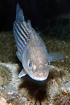 Striped bass juvenile swimming towards camera, vertical