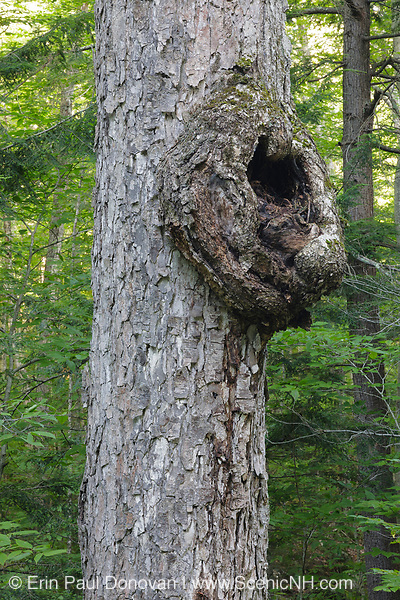 Burl on old Yellow Birch (Betula alleghaniensis) - at Hubbard Brook Experimental Forest in the Woodstock, New Hampshire during the summer months. The Hubbard Brook Experimental Forest is an outdoor laboratory for ecological studies.