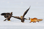 Eagles attempt to steal fish from a red fox by Philippe Cabanel/Naturagency
