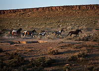A band of mustangs leaves the salt lick at South Steens wild horse.  <br /> The herd is located south of Frenchglen in the high desert country with extremely rocky surfaces divided by deep canyons, rim rocks and plateaus. There are around 200 horses with lots of color--pinto, sorrel, bay palomino, brown, black, red roan and dun.  This band of 18 is divided into several groups. Many young studs are coming of age and there were small challenges for dominance as the mares come into season. They drink at the waterhole and eat salt from the ground where they have carved out holes from an old lick.