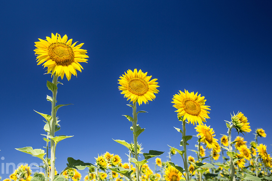 Sunflowers in a Camarge field - Provence, France
