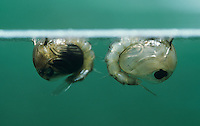 Mosquito, Culicidae, pupae, Oberaegeri, Switzerland, May 1996
