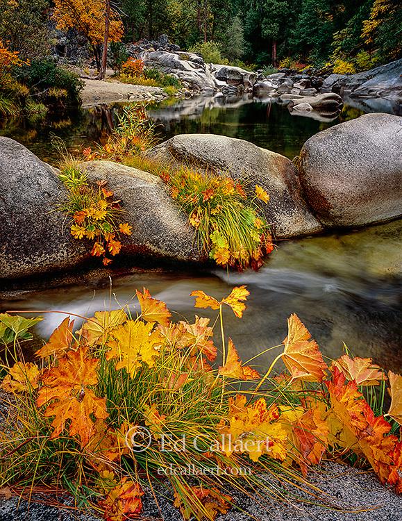 Indian Rhubarb, Saxifrage, Merced River, Yosemite National Park, California