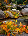 Indian Rhubarb, Saxifrage, Merced River, Yosemite National Park, California