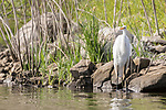 Lake Hodges, Escondido, San Diego, California; a Great Egret standing in the shallow water along the rocky shoreline in early morning sunlight, waiting for fish