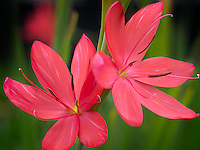 Close up of Torero Schizostylis. Oregon