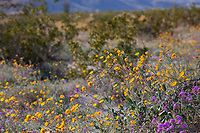 Desert Sunflower, Geraea canescens, wildflowers on desert floor of Sonoran Desert at Anza Borrego California State Park