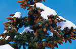 spruce, tree, cones, snow, abstract, beauty, nature, Rocky Mountain National Park, Colorado, USA