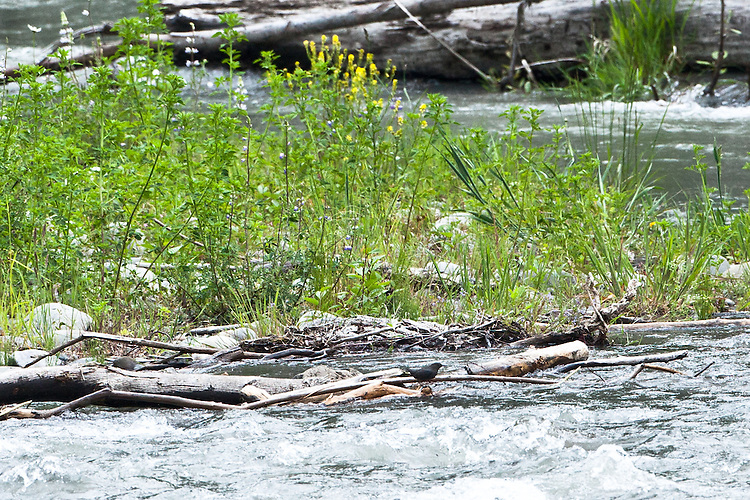 The American Dipper, a stocky dark grey bird, feeds on the bottom of fast-moving streams bobbing in and out of the water. We had a superb display of the Dipper at the Dungeness River Audubon Center, Olympic Peninsula, Washington.