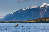 Brown bear sow fishes in Naknek lake, Mount Katolinat in the background, Katmai National Park, Alaska.