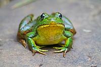 green frog or bronze frog, Lithobates clamitans or Rana clamitans, Nova Scotia, Canada, late summer