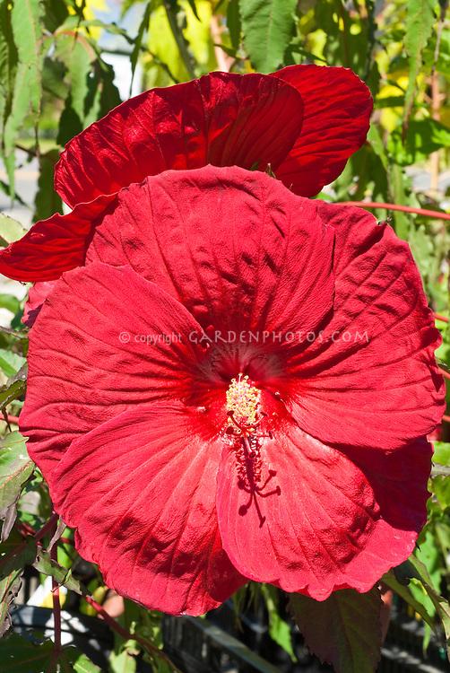 Bgi red blooms of Hibiscus 'Fireball'