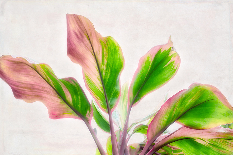 Multi colored close up of ti plant leaves. Mauai, Hawaii