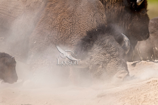 American bison (Bison bison) bull wallowing during summer mating season.  While all bison use dust baths to control irritating insects (biting flies, ticks, etc), bulls wallow in dust/dirt during the summer mating season to increase their sex appeal.