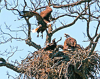 The LLano bald eagle family with male flying in to the nest