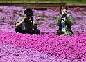 Shibazakura flowers in full bloom in Chichibu
