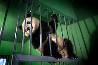 A captive bread panda plays in its enclosure at the Hetaoping Panda Conservation Centre.