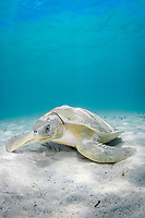 Australian flatback sea turtle, or flatback sea turtle, Natator depressus, endemic to Australia and southern New Guinea, Australia