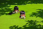 Two boys pop their heads out of algae-covered water as they collect water lilies.  The pair of youngsters made a splash as they dived into the lake to pick and weave the pretty plants.<br /> <br /> Professional photographer Azim Khan Ronnie pictured the 10 year olds harvesting the water lilies in Munshiganj, Bangladesh.  SEE OUR COPY FOR DETAILS.<br /> <br /> Please byline: Azim Khan Ronnie/Solent News<br /> <br /> © Azim Khan Ronnie/Solent News & Photo Agency<br /> UK +44 (0) 2380 458800