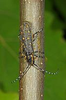 Kleiner Pappelbock, Weibchen nagt hufeisenförmige Schnittfigur zur Eiablage in den Zweig einer Pappel, Espenbock, Kleiner Aspenbock, Saperda populnea, Small poplar longhorn beetle, Small poplar borer