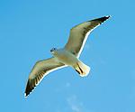 Gulls cruises past!