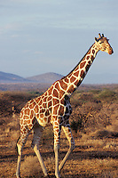 Reticulated giraffe (Giraffa camelopardalis), Africa.