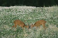 Europäisches Reh, Rehwild, Reh-Wild, 2 junge Böcke, Männchen, Capreolus capreolus, roe deer
