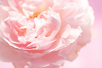 A single pale pink rose in all its fragility