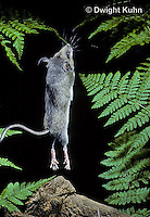 MU51-003z  Deer Mouse - young jumping - Peromyscus maniculatus