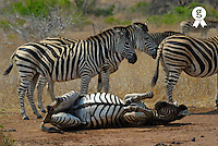 Herd of Burchell's Zebra (Equus burchelli) with one scratching his back on ground (Licence this image exclusively with Getty: http://www.gettyimages.com/detail/73014031 )