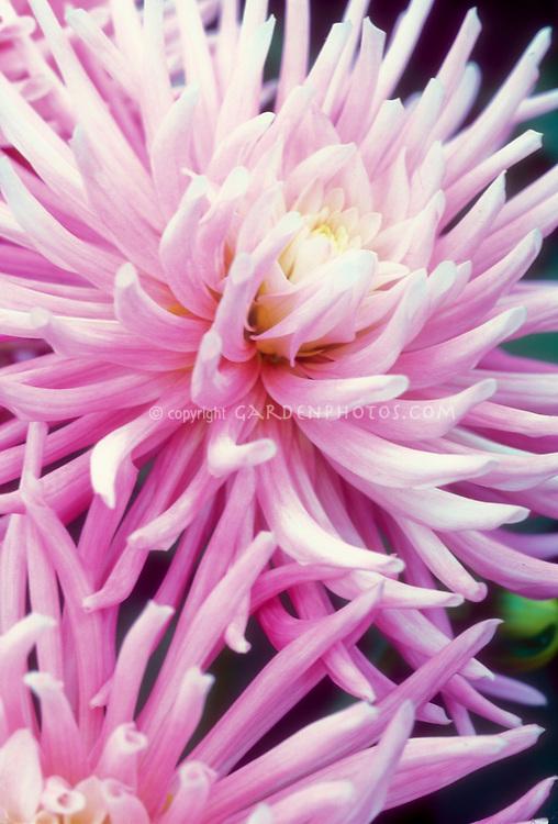 Cactus Dahlia Park Princess in pink lavender and white flowers. Cactus dahlia