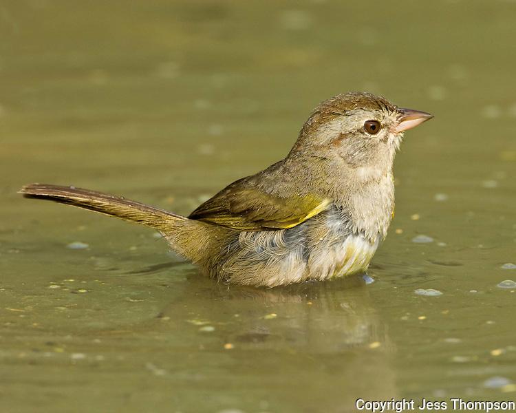 Olive Sparrow, Dos Venadas Ranch, South Texas