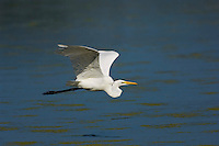 Great Egret (Ardea albus) in flight, mid-September, Point Pelee National Park, southwestern Ontario, Canada.