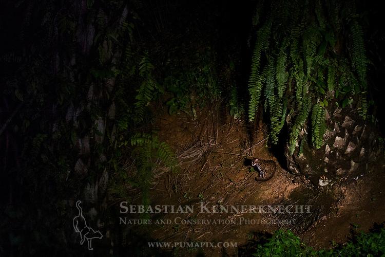 Sunda Leopard Cat (Prionailurus javanensis) in African Oil Palm (Elaeis guineensis) plantation at night, Sabah, Borneo, Malaysia