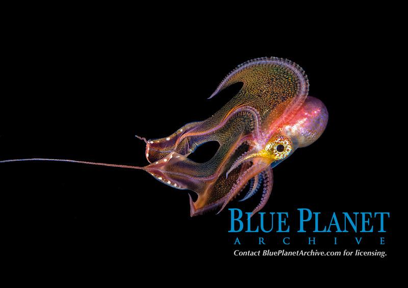 pelagic female Blanket Octopus, Tremoctopus species, in display during blackwater dive off Palm Beach, Florida, USA, Atlantic Ocean