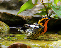Adult male Blackburnian warbler bathing