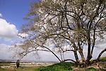 T-127 Jujube tree at Tel Gezer