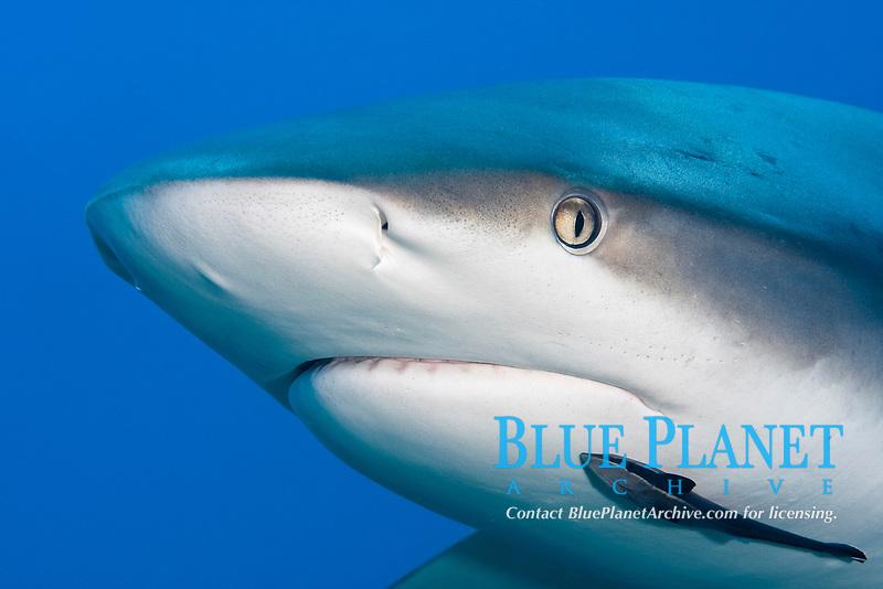 Caribbean reef shark, Carcharhinus pereziii, close up of head, Bahamas Bank, Bahamas, Atlantic. Note remora attached