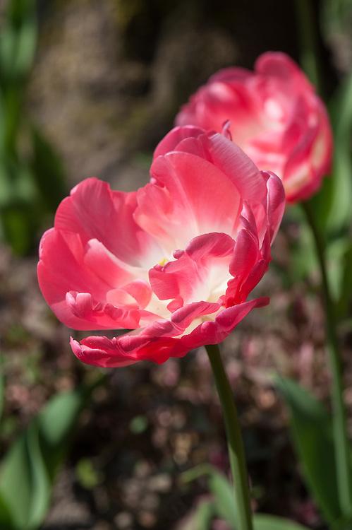 Tulip 'Jamai' (Double Late Group), late April.